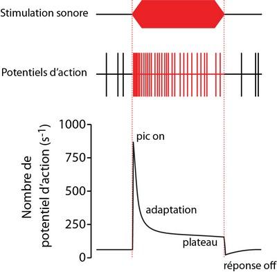 Index of varplainsitestorageimagesmediaimagesl histogramme l histogramme de temps post stimulus psthg ccuart Gallery