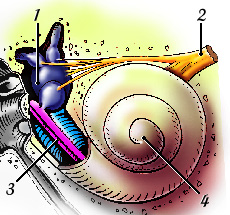 Oreille interne cochl e vestibule cochlea for Fenetre ovale oreille