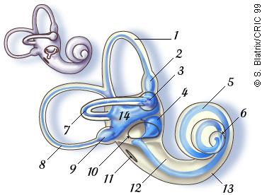 Oreille Interne Cochlée Vestibule Cochlea