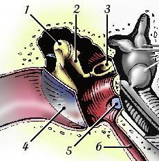 Oreille moyenne tympan cochlea for Fenetre ovale oreille