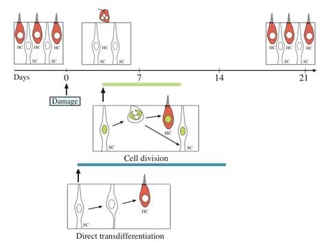 Transdifferentiation Cell-division